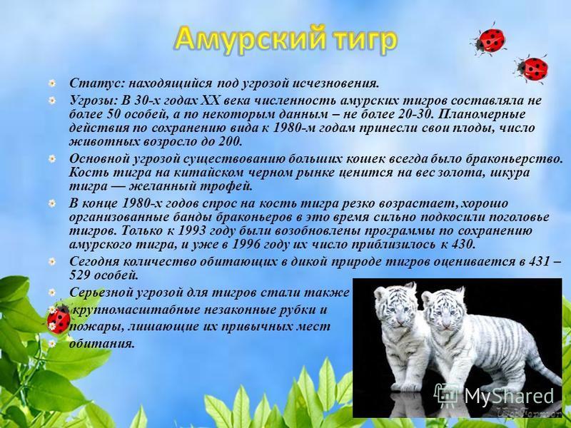 Статус: находящийся под угрозой исчезновения. Угрозы: В 30-х годах XX века численность амурских тигров составляла не более 50 особей, а по некоторым данным – не более 20-30. Планомерные действия по сохранению вида к 1980-м годам принесли свои плоды,