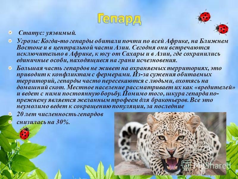 Статус: уязвимый. Угрозы: Когда-то гепарды обитали почти по всей Африке, на Ближнем Востоке и в центральной части Азии. Сегодня они встречаются исключительно в Африке, к югу от Сахары и в Азии, где сохранились единичные особи, находящиеся на грани ис
