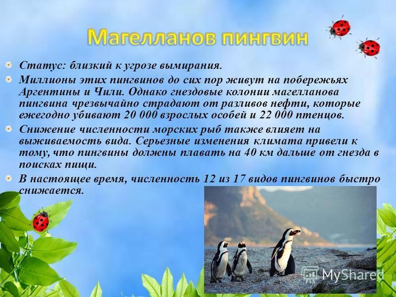 Статус: близкий к угрозе вымирания. Миллионы этих пингвинов до сих пор живут на побережьях Аргентины и Чили. Однако гнездовые колонии магелланова пингвина чрезвычайно страдают от разливов нефти, которые ежегодно убивают 20 000 взрослых особей и 22 00