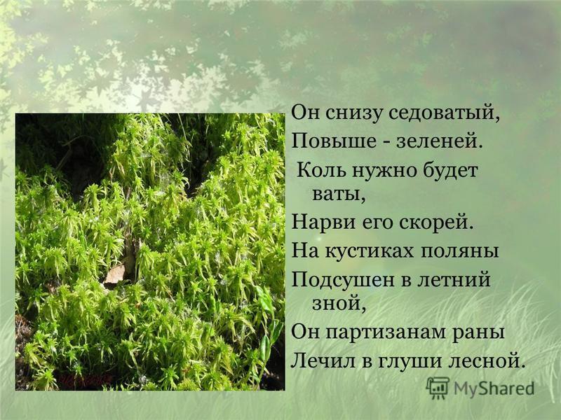 Он снизу седоватый, Повыше - зеленей. Коль нужно будет ваты, Нарви его скорей. На кустиках поляны Подсушен в летний зной, Он партизанам раны Лечил в глуши лесной.