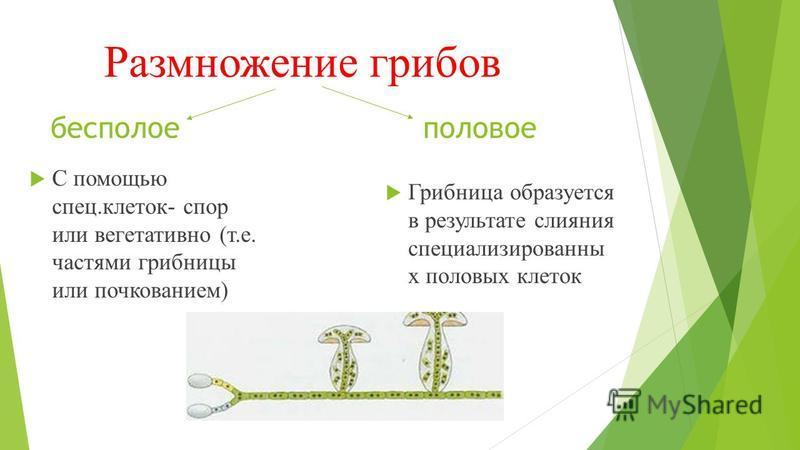Размножение грибов Грибница образуется в результате слияния специализированны х половых клеток бесполое половое С помощью спец.клеток- спор или вегетативно (т.е. частями грибницы или почкованием)
