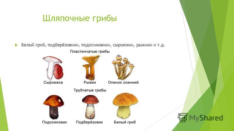 Шляпочные грибы Белый гриб, подберёзовики, подосиновики, сыроежки, рыжики и т.д.