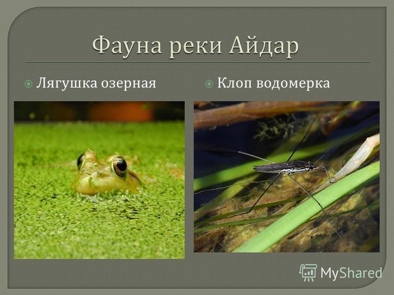 Лягушка озерная Клоп водомерка
