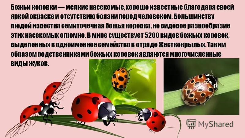 Божьи коровки мелкие насекомые, хорошо известные благодаря своей яркой окраске и отсутствию боязни перед человеком. Большинству людей известна семиточечная божья коровка, но видовое разнообразие этих насекомых огромно. В мире существует 5200 видов бо