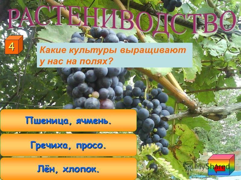 КАРТОФЕЛЬ КУКУРУЗА ПОДСОЛНЕЧНИК 3 Какая культура относится и к полеводству, и к овощеводству?