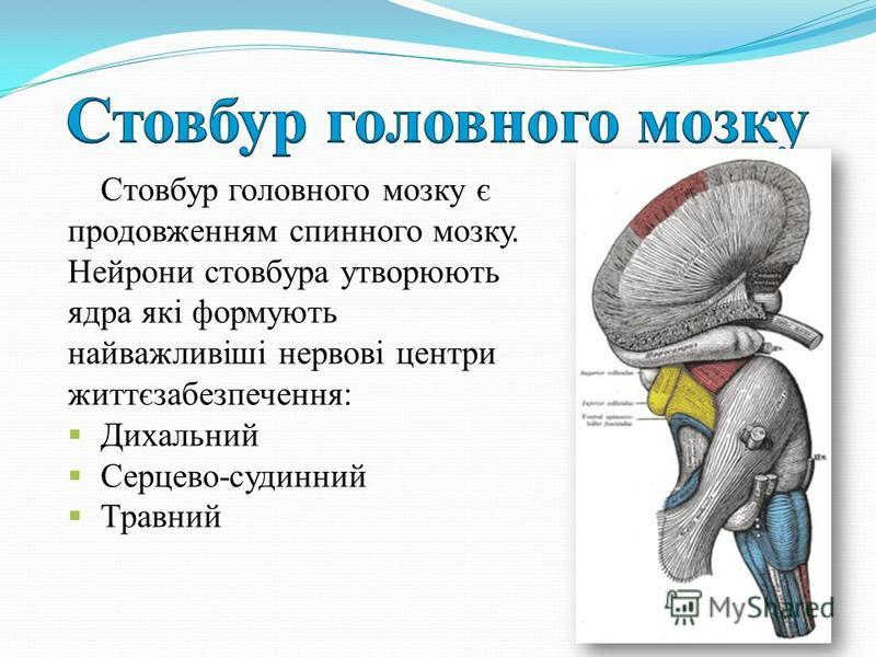 Стовбур головного мозку є продовженням спинного мозку. Нейрони стовбура утворюють ядра які формують найважливіші нервові центри життєзабезпечення: Дихальний Серцево-судинний Травний