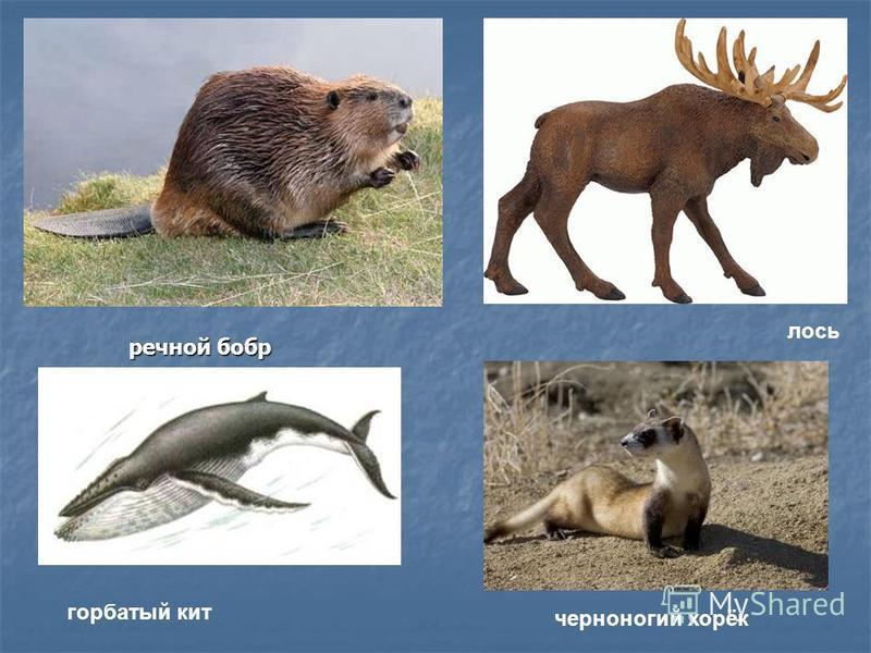 речной бобр лось черноногий хорёк горбатый кит