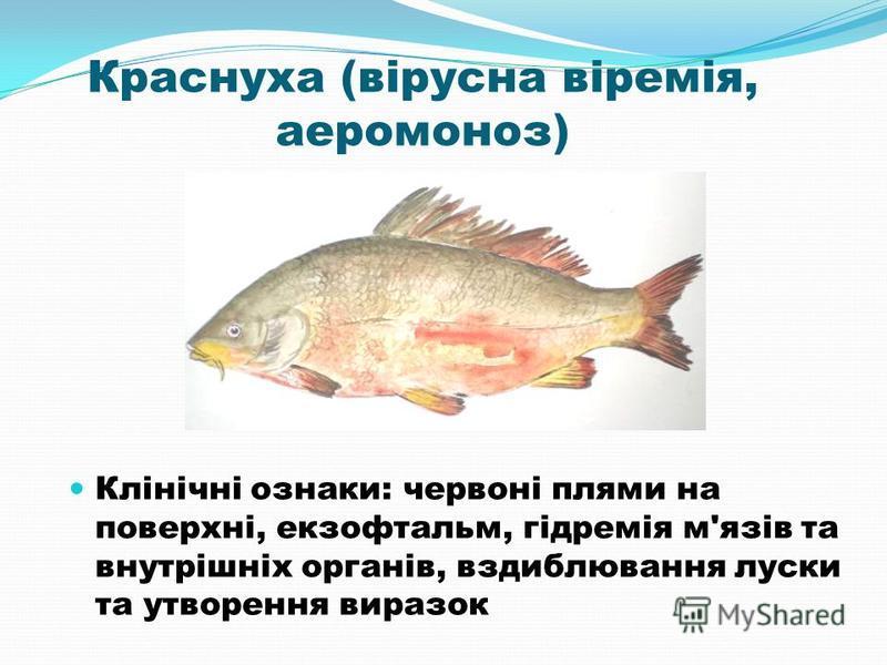 Краснуха (вірусна віремія, аеромоноз) Клінічні ознаки: червоні плями на поверхні, екзофтальм, гідремія м'язів та внутрішніх органів, вздиблювання луски та утворення виразок