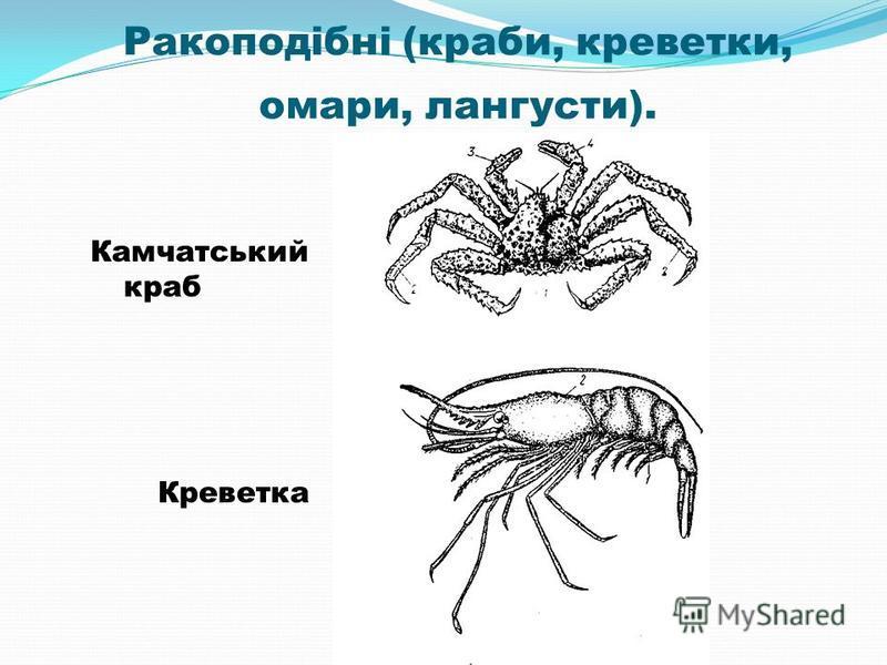 Ракоподібні (краби, креветки, омари, лангусти). Камчатський краб Креветка