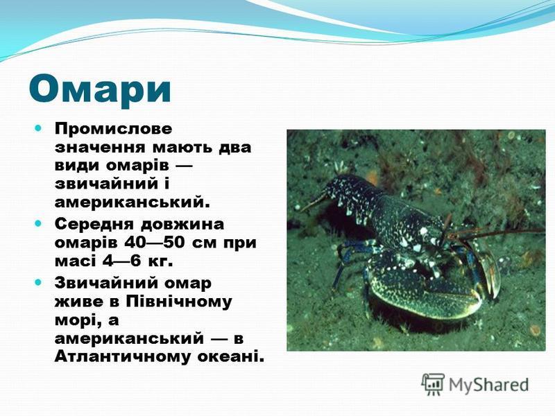 Омари Промислове значення мають два види омарів звичайний і американський. Середня довжина омарів 4050 см при масі 46 кг. Звичайний омар живе в Північному морі, а американський в Атлантичному океані.