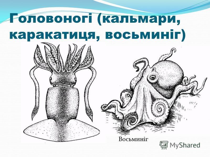 Головоногі (кальмари, каракатиця, восьминіг) Кальмар Восьминіг