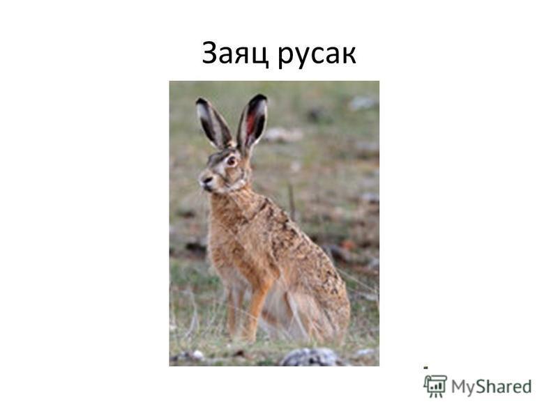 Заяц русак
