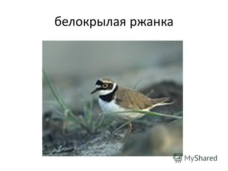 белокрылая ржанка
