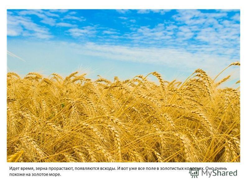 Идет время, зерна прорастают, появляются всходы. И вот уже все поле в золотистых колосьях. Оно очень похоже на золотое море.