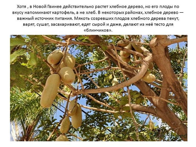 Хотя, в Новой Гвинее действительно растет хлебное дерево, но его плоды по вкусу напоминают картофель, а не хлеб. В некоторых районах, хлебное дерево важный источник питания. Мякоть созревших плодов хлебного дерева пекут, варят, сушат, засахаривают, е