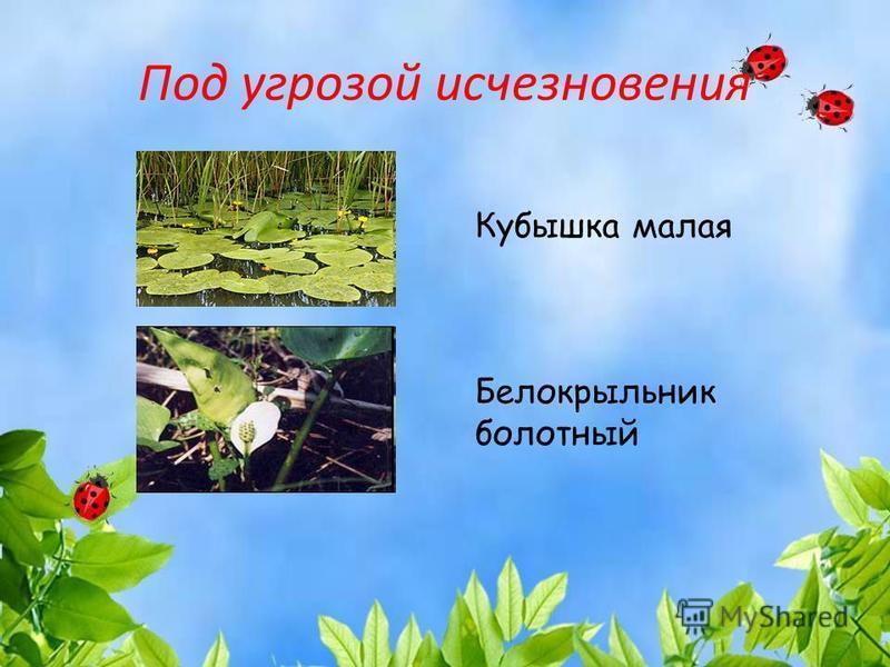 Под угрозой исчезновения Кубышка малая Белокрыльник болотный