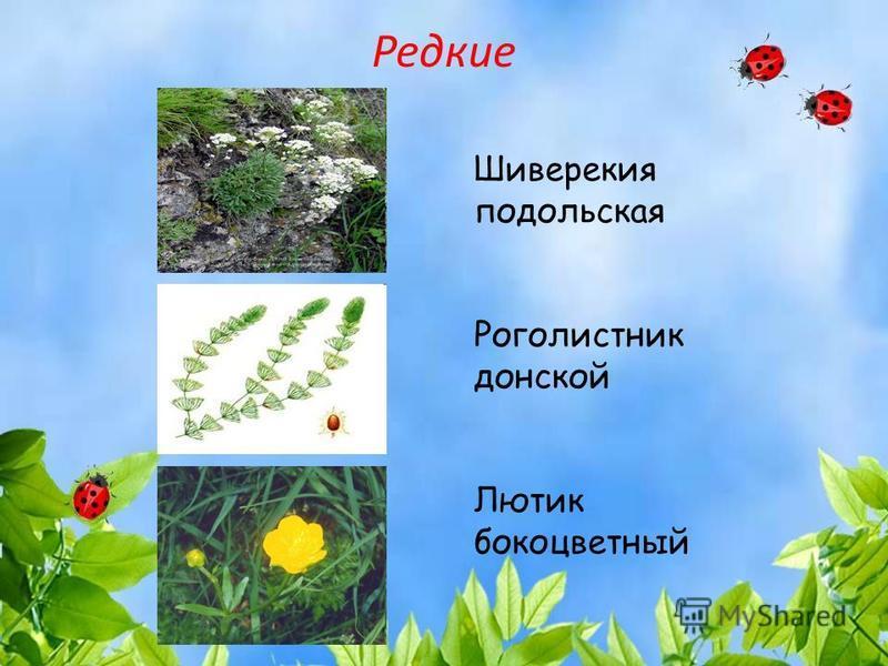 Редкие Шиверекия подольская Роголистник донской Лютик бокоцветный