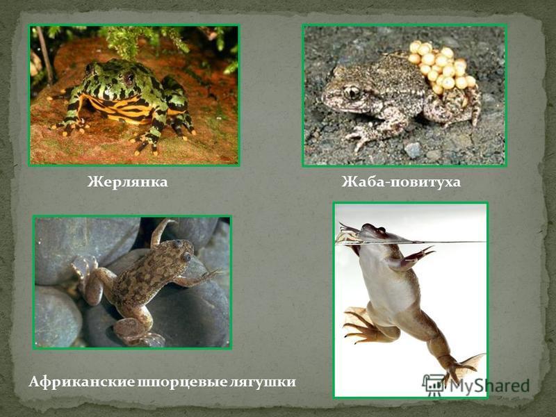 Жерлянка Жаба-повитуха Африканские шпорцевые лягушки