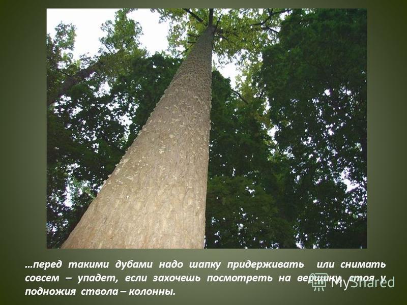 …перед такими дубами надо шапку придерживать или снимать совсем – упадет, если захочешь посмотреть на вершину, стоя у подножия ствола – колонны.