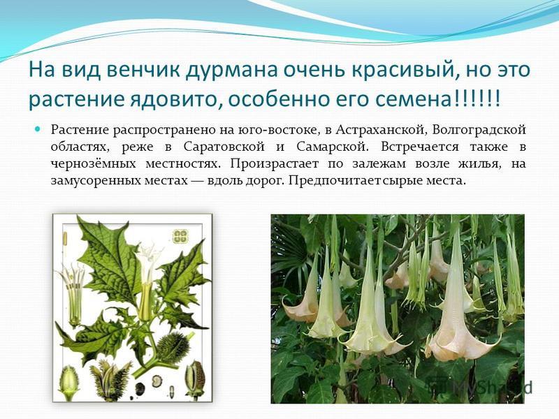 На вид венчик дурмана очень красивый, но это растение ядовито, особенно его семена!!!!!! Растение распространено на юго-востоке, в Астраханской, Волгоградской областях, реже в Саратовской и Самарской. Встречается также в чернозёмных местностях. Произ