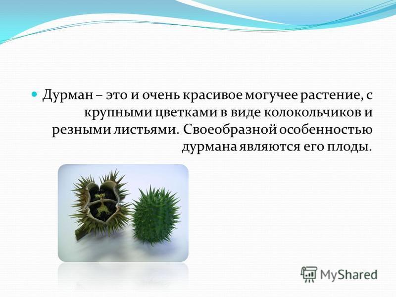 Дурман – это и очень красивое могучее растение, с крупными цветками в виде колокольчиков и резными листьями. Своеобразной особенностью дурмана являются его плоды.