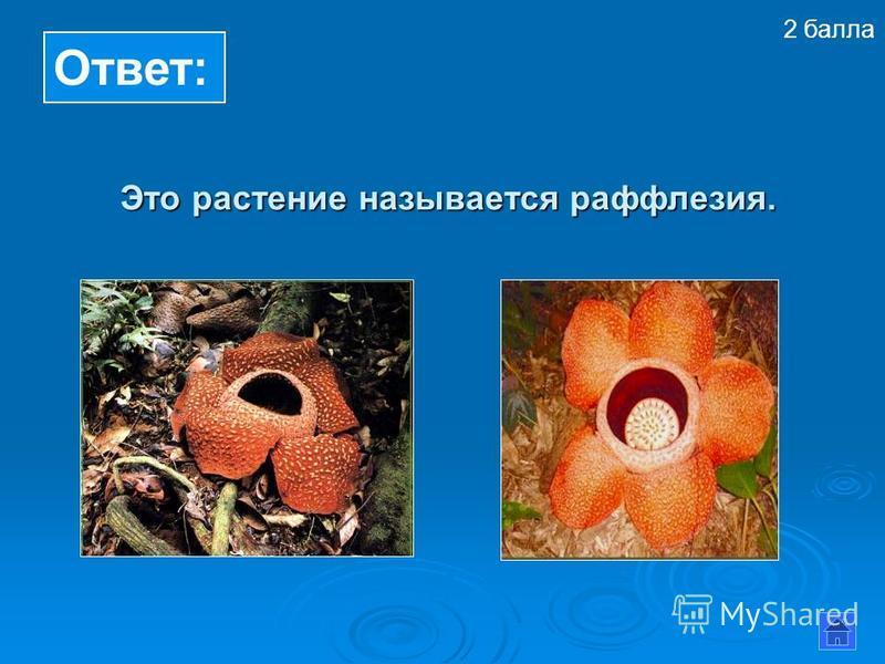 Ответ: Это растение называется раффлезия. Это растение называется раффлезия. 2 балла