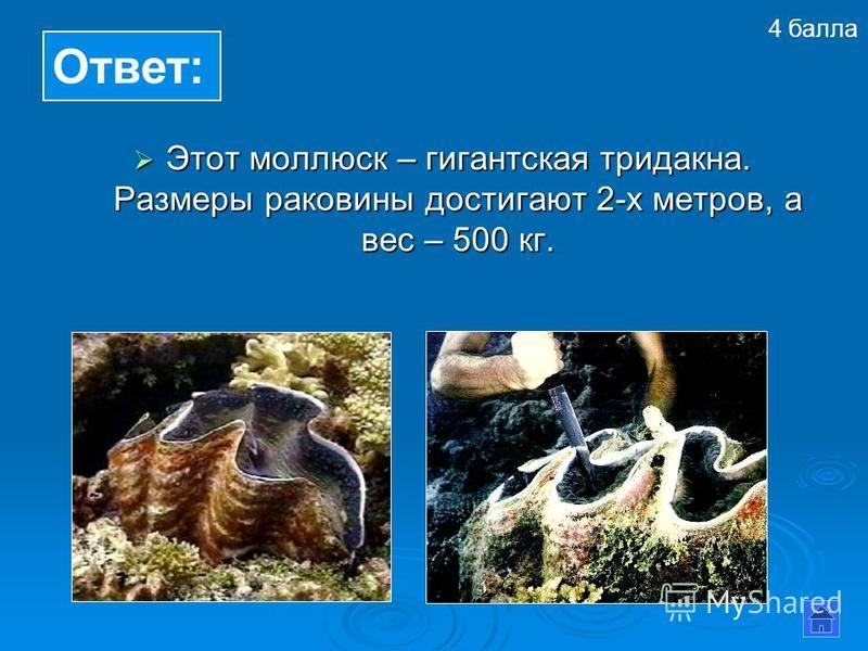 Этот моллюск – гигантская тридакна. Размеры раковины достигают 2-х метров, а вес – 500 кг. Этот моллюск – гигантская тридакна. Размеры раковины достигают 2-х метров, а вес – 500 кг. Ответ: 4 балла