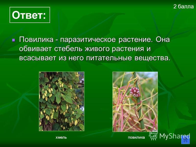 Повилика - паразитическое растение. Она обвивает стебель живого растения и всасывает из него питательные вещества. Повилика - паразитическое растение. Она обвивает стебель живого растения и всасывает из него питательные вещества. Ответ: хмель повилик