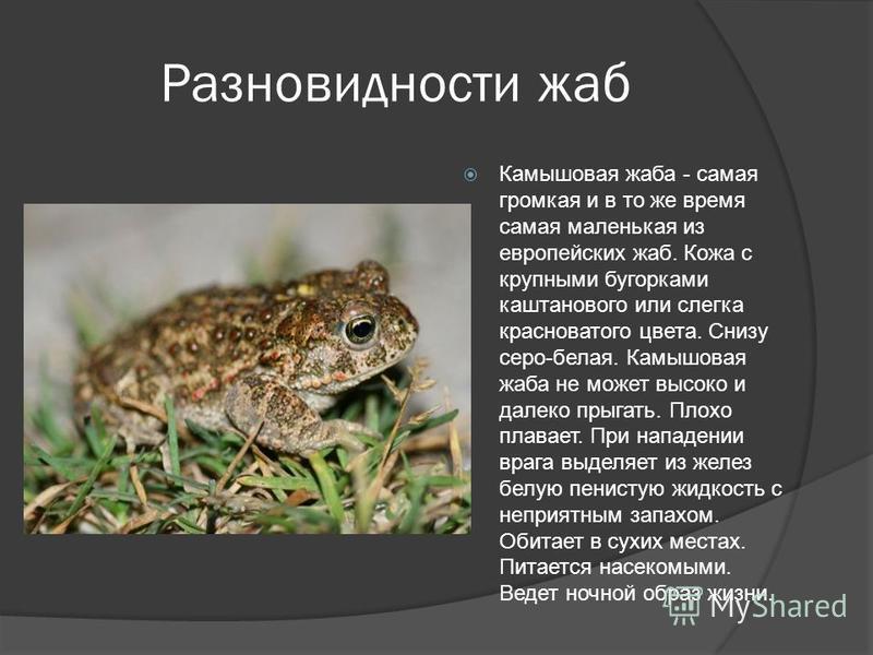 Разновидности жаб Камышовая жаба - самая громкая и в то же время самая маленькая из европейских жаб. Кожа с крупными бугорками каштанового или слегка красноватого цвета. Снизу серо-белая. Камышовая жаба не может высоко и далеко прыгать. Плохо плавает