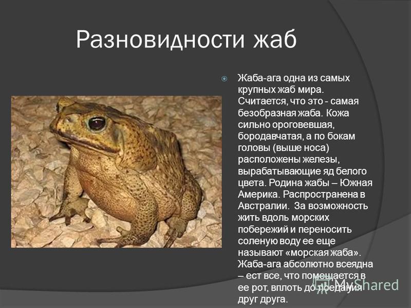 Разновидности жаб Жаба-ага одна из самых крупных жаб мира. Считается, что это - самая безобразная жаба. Кожа сильно ороговевшая, бородавчатая, а по бокам головы (выше носа) расположены железы, вырабатывающие яд белого цвета. Родина жабы – Южная Амери