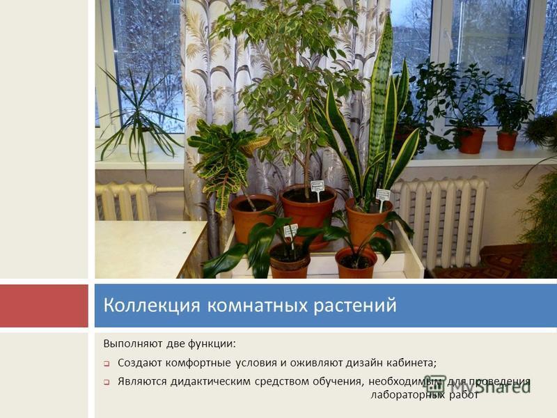 Выполняют две функции : Создают комфортные условия и оживляют дизайн кабинета ; Являются дидактическим средством обучения, необходимым для проведения лабораторных работ Коллекция комнатных растений
