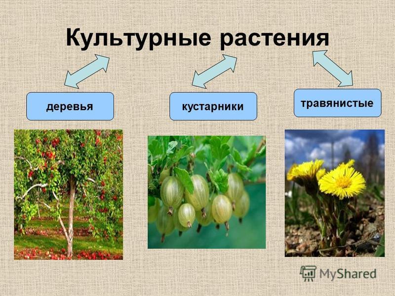 Культурные растения деревья кустарники травянистые