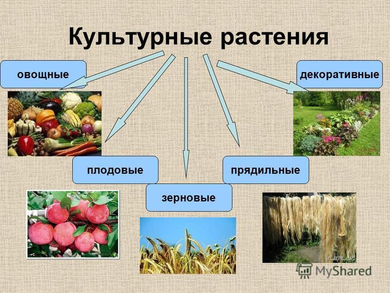 Культурные растения овощные плодовые зерновые прядильные декоративные