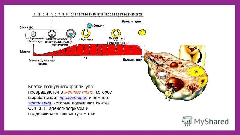 Клетки лопнувшего фолликула превращаются в желтое тело, которое вырабатывает прогестерон и немного эстрогена, которые подавляют синтез ФСГ и ЛГ аденогипофизом и поддерживают слизистую матки.