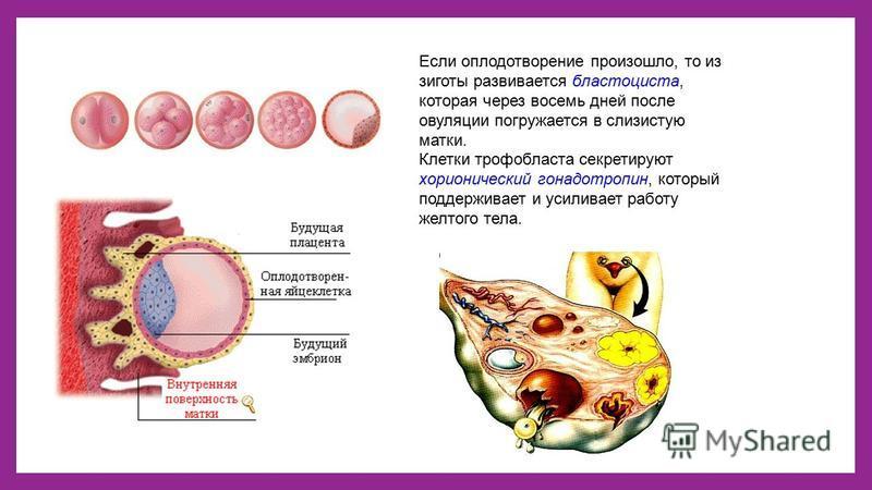 Если оплодотворение произошло, то из зиготы развивается бластоциста, которая через восемь дней после овуляции погружается в слизистую матки. Клетки трофобласта секретируют хорионический гонадотропин, который поддерживает и усиливает работу желтого те