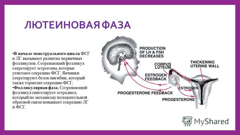 ЛЮТЕИНОВАЯ ФАЗА В начале менструальномго цикла ФСГ и ЛГ вызывают развитие первичных фолликулов. Созревающий фолликул секретирует эстрогены, которые угнетают секрецию ФСГ. Яичники секретируют белок ингибин, который также тормозит секрецию ФСГ. Фоллику