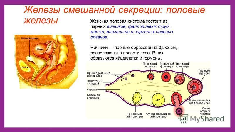 Железы смешанной секреции: половые железы Женская половая система состоит из парных яичников, фаллопиевых труб, матки, влагалища и наружных половых органов. Яичники парные образования 3,5 х 2 см, расположены в полости таза. В них образуются яйцеклетк