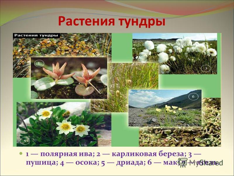 Растения тундры 1 полярная ива; 2 карликовая береза; 3 пушица; 4 осока; 5 дриада; 6 мак; 7 ягель.