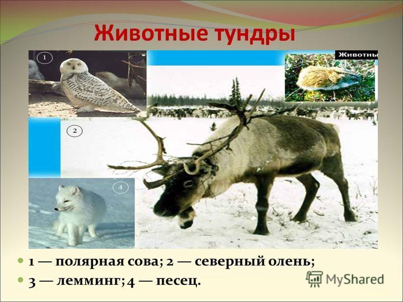 Животные тундры 1 полярная сова; 2 северный олень; 3 лемминг; 4 песец.