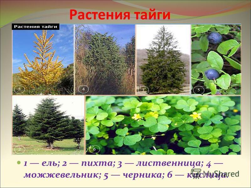 Растения тайги 1 ель; 2 пихта; 3 лиственница; 4 можжевельник; 5 черника; 6 кислица.
