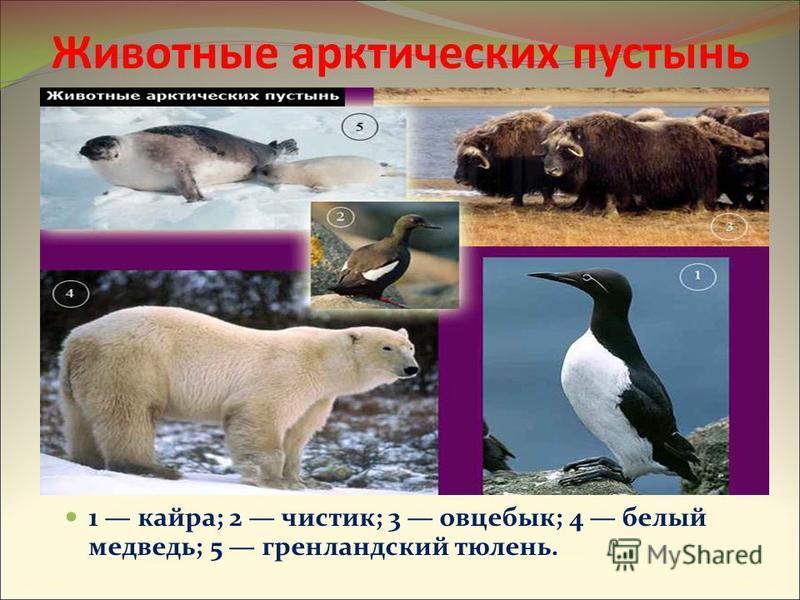 Животные арктических пустынь 1 кайра; 2 чистик; 3 овцебык; 4 белый медведь; 5 гренландский тюлень.