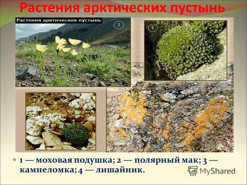 1 моховая подушка; 2 полярный мак; 3 камнеломка; 4 лишайник. Растения арктических пустынь