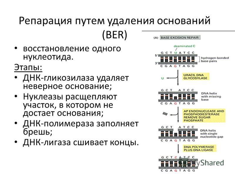 Репарация путем удаления оснований (BER) восстановление одного нуклеотида. Этапы: ДНК-гликозилаза удаляет неверное основание; Нуклеазы расщепляют участок, в котором не достает основания; ДНК-полимераза заполняет брешь; ДНК-лигаза сшивает концы.