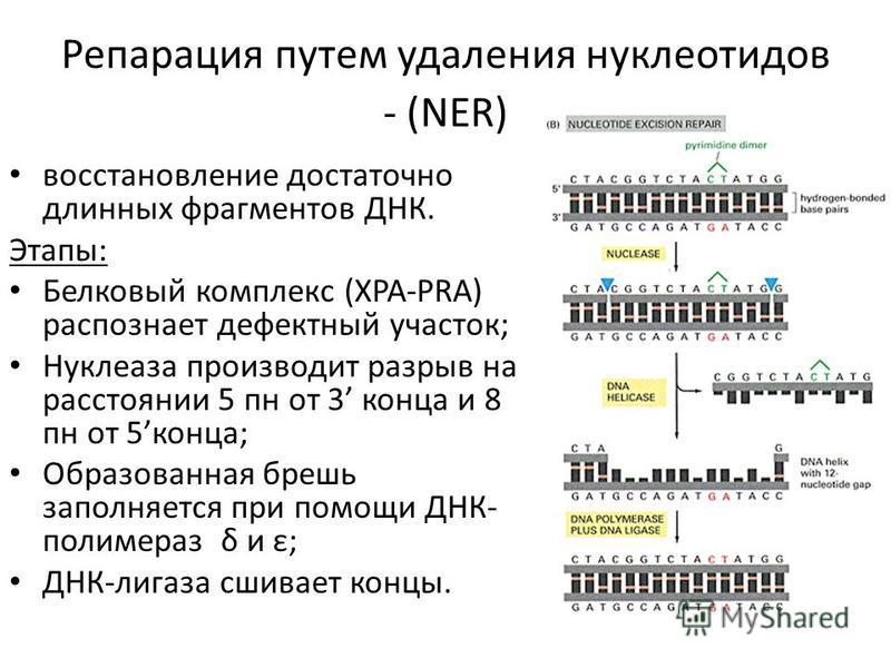 Репарация путем удаления нуклеотидов - (NER) восстановление достаточно длинных фрагментов ДНК. Этапы: Белковый комплекс (XPA-PRA) распознает дефектный участок; Нуклеаза производит разрыв на расстоянии 5 пн от 3 конца и 8 пн от 5 конца; Образованная б