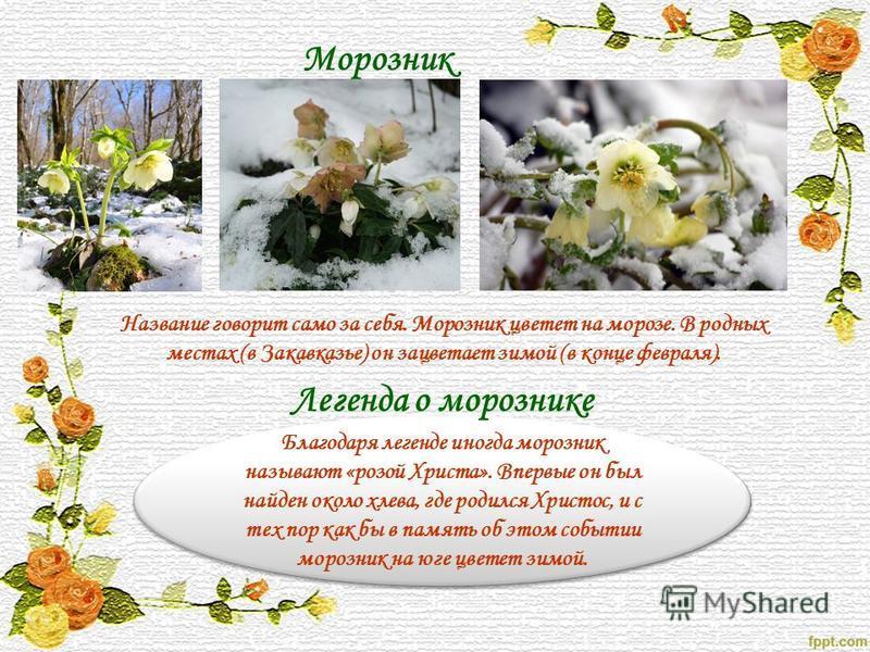 Благодаря легенде иногда морозник называют «розой Христа». Впервые он был найден около хлева, где родился Христос, и с тех пор как бы в память об этом событии морозник на юге цветет зимой. Морозник Название говорит само за себя. Морозник цветет на мо