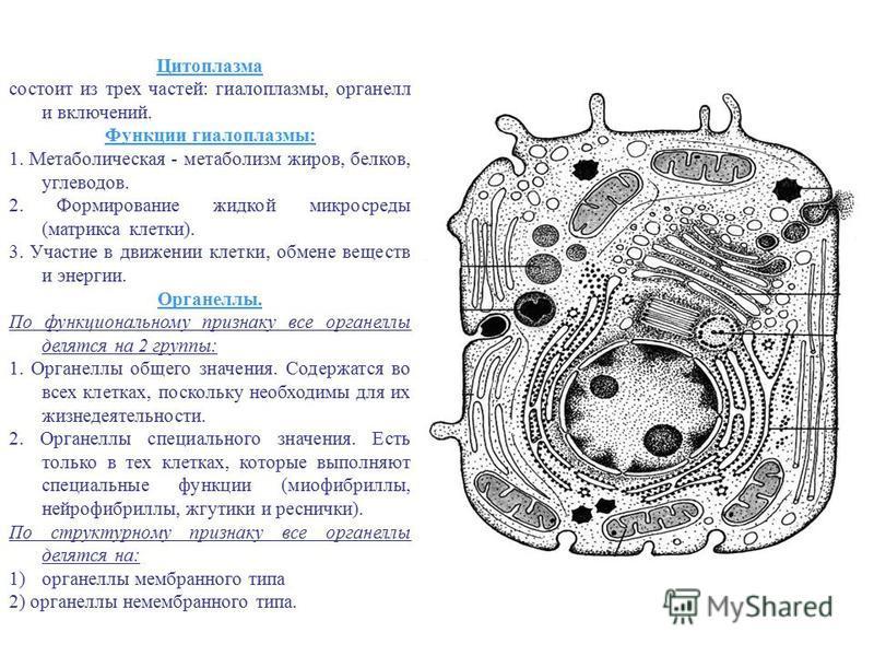 Цитоплазма состоит из трех частей: гиалоплазмы, органелл и включений. Функции гиалоплазмы: 1. Метаболическая - метаболизм жиров, белков, углеводов. 2. Формирование жидкой микросреды (матрикса клетки). 3. Участие в движении клетки, обмене веществ и эн