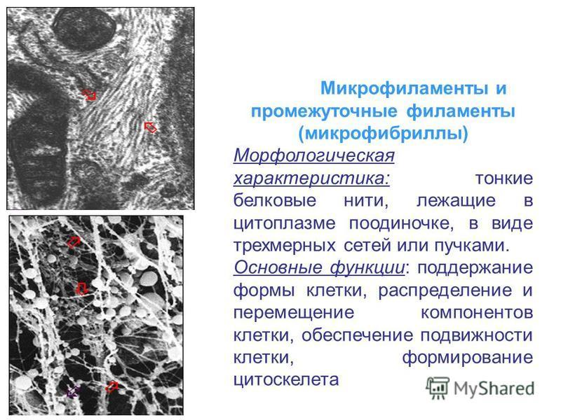Микрофиламенты и промежуточные филаменты (микрофибриллы) Морфологическая характеристика: тонкие белковые нити, лежащие в цитоплазме поодиночке, в виде трехмерных сетей или пучками. Основные функции: поддержание формы клетки, распределение и перемещен