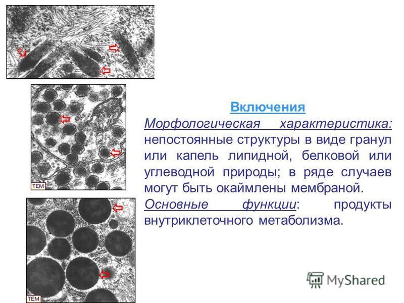 Включения Морфологическая характеристика: непостоянные структуры в виде гранул или капель липидной, белковой или углеводной природы; в ряде случаев могут быть окаймлены мембраной. Основные функции: продукты внутриклеточного метаболизма.