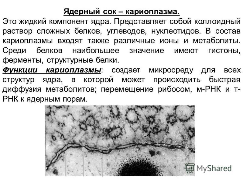Ядерный сок – кариоплазма. Это жидкий компонент ядра. Представляет собой коллоидный раствор сложных белков, углеводов, нуклеотидов. В состав кариоплазмы входят также различные ионы и метаболиты. Среди белков наибольшее значение имеют гистоны, фермент