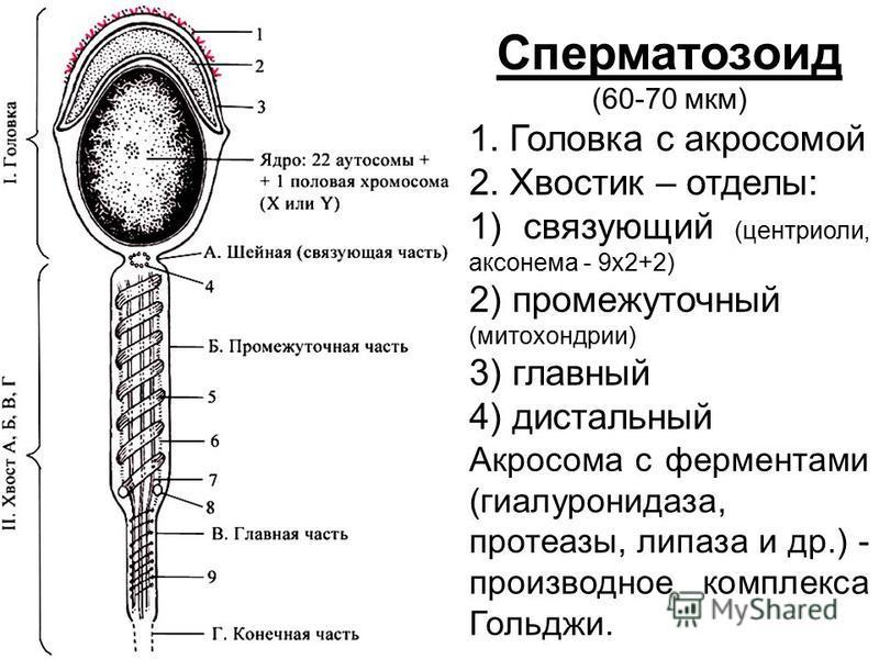 Сперматозоид (60-70 мкм) 1. Головка с акросомой 2. Хвостик – отделы: 1) связующий (центриоли, аксонема - 9 х 2+2) 2) промежуточный (митохондрии) 3) главный 4) дистальный Акросома с ферментами (гиалуронидаза, протеазы, липаза и др.) - производное комп